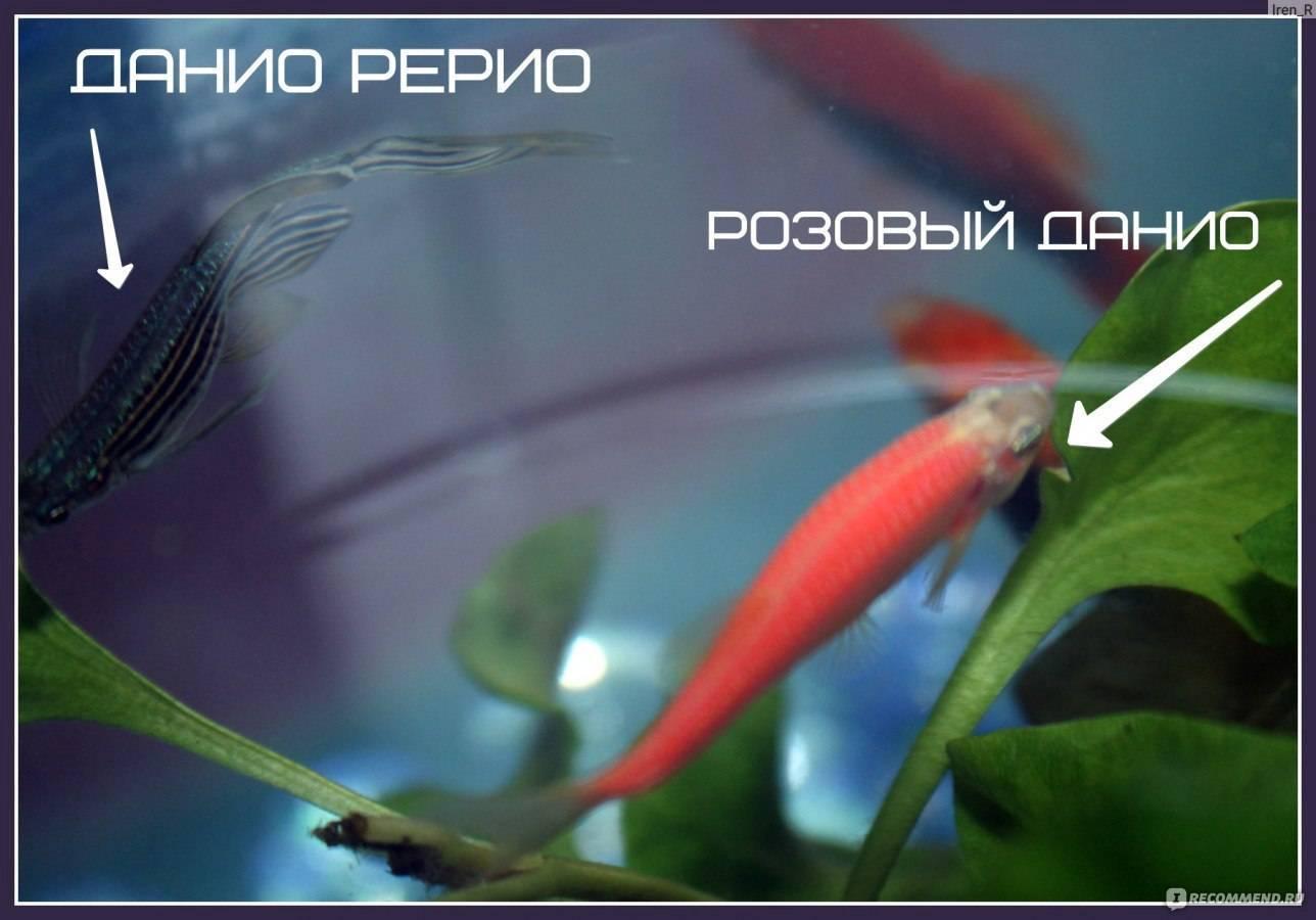 Размножение данио в общем аквариуме