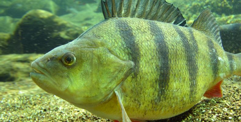 Рыба окунь -все о окуне. как где ловить окуня. советы рыбаков
