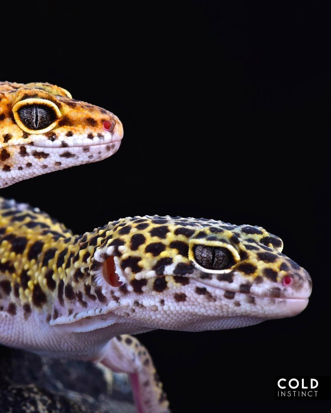 Пятнистый леопардовый эублефар (геккон) – описание, фото, уход