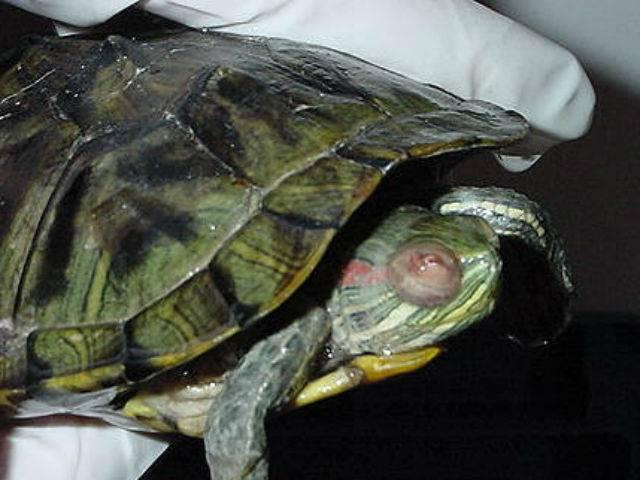 Красноухая черепаха чешет панцирь почему