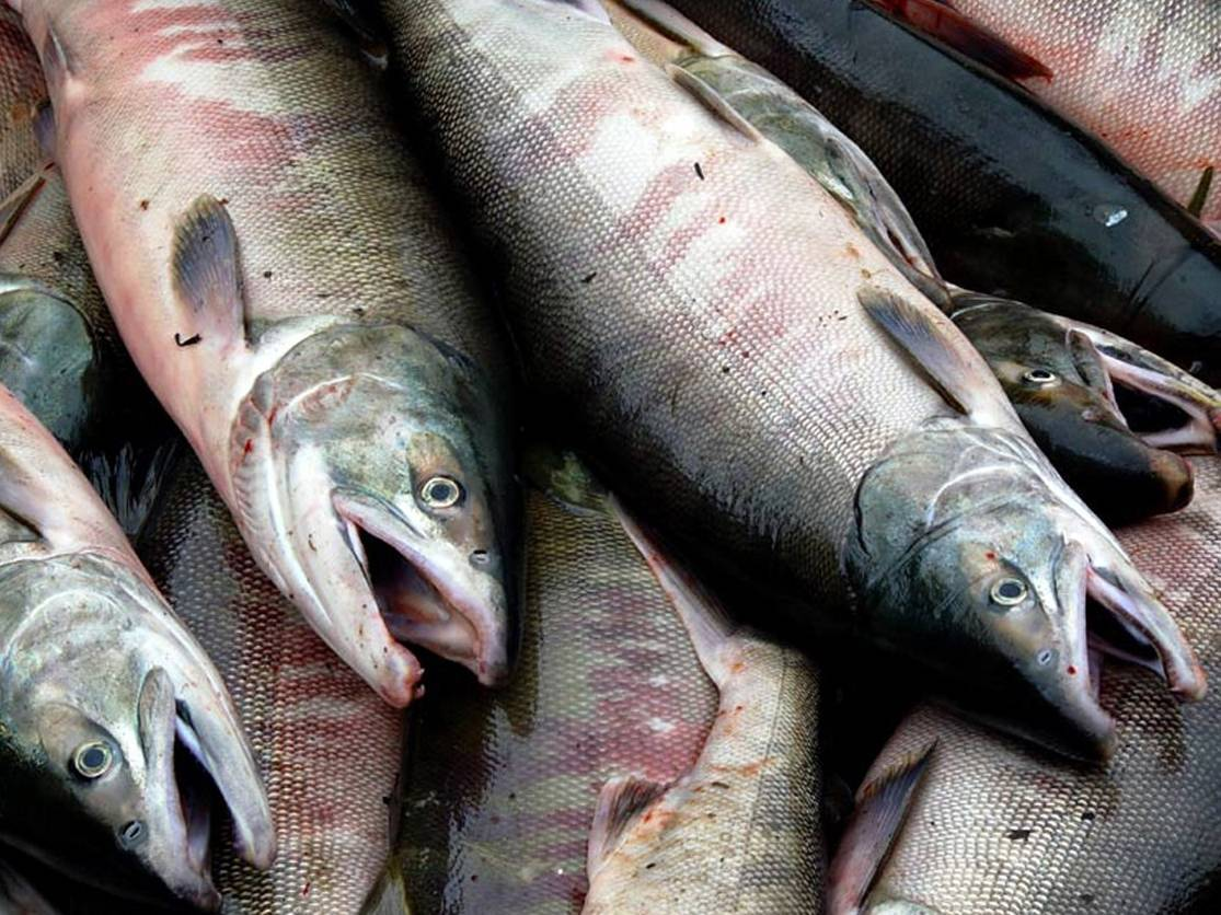 Ловля красной рыбы (кеты) в низовьях горной реки