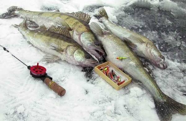 Ловля судака зимой – все средства хороши