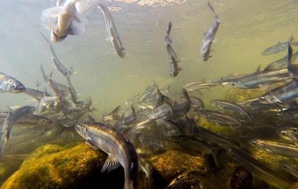 Рыба снеток: описание корюшки малоротки, на что ловить