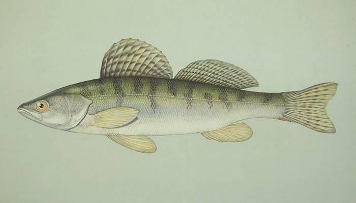 ✅ рыба берш костлявая или нет. берш: отличие от судака, как готовить рыбу - sundaria.su