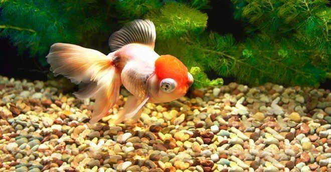 Оранда - золотая рыбка, уход и совместимость