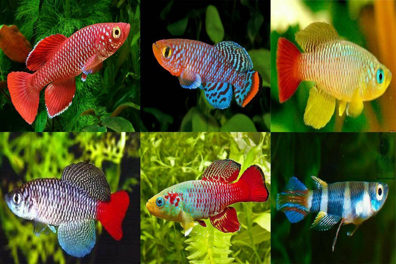 Нотобранхиус (рахова, гюнтера, эггерса, кардиналис, фоерши): содержание, разведение, совместимость с другими рыбами