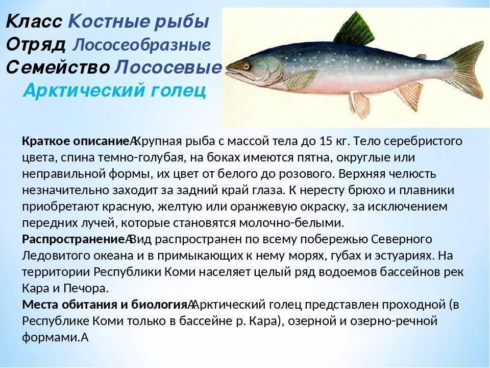 Чем отличается лосось и сёмга