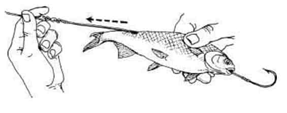 Рыба шамайка