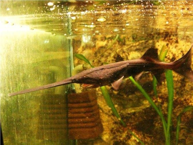 Веслонос: как разводить рыбу в домашних условиях