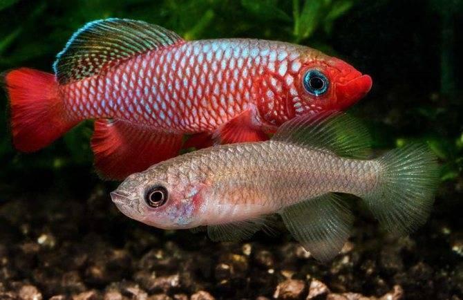 Оранда рыбка. описание, особенности, уход и совместимость оранды | животный мир