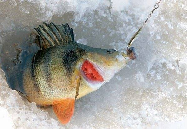 Ловля окуня на спиннинг осенью: приманки и поиск рыбы на водоеме
