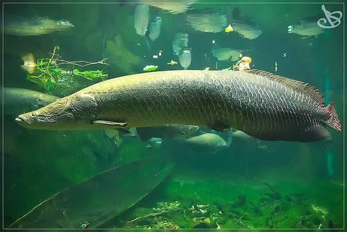 Рыба-капля – фото, описание, ареал, рацион, враги, популяция