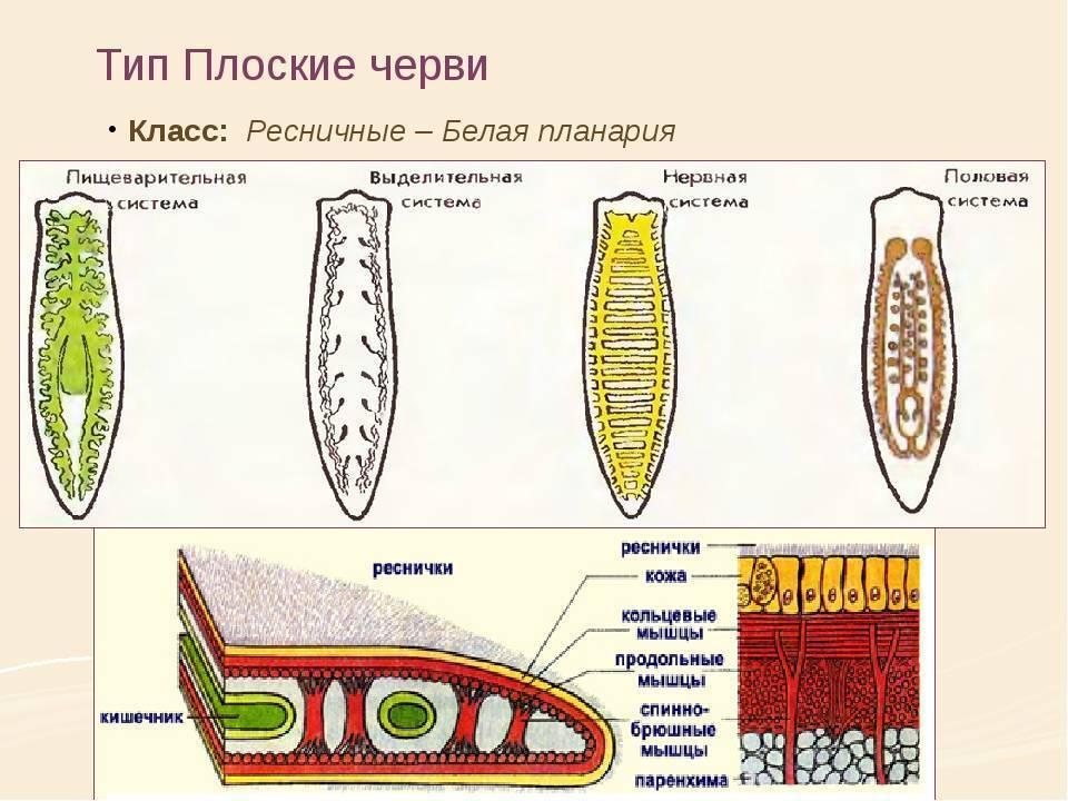 Белая планария: научное значение способности червя к регенерации