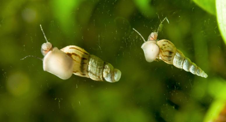 Избавляем от улиток в аквариуме: 4 самых эффективных метода!