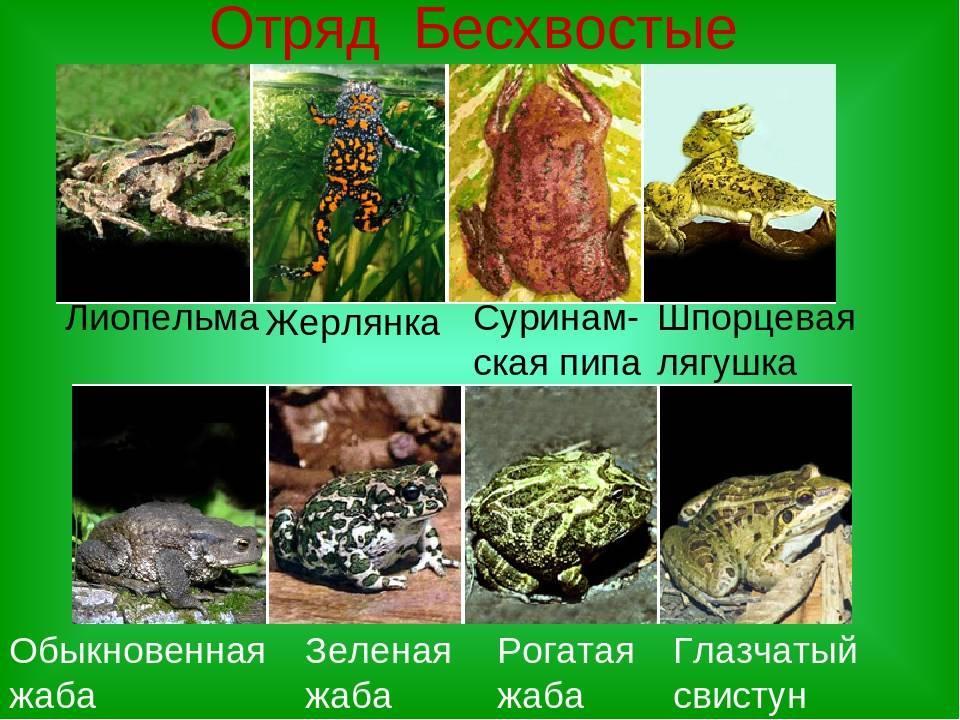 Роющая лягушка   мир животных и растений