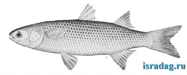 Что за рыба кефаль: где водится, особенности строения, чем полезна и как готовить | berlogakarelia.ru