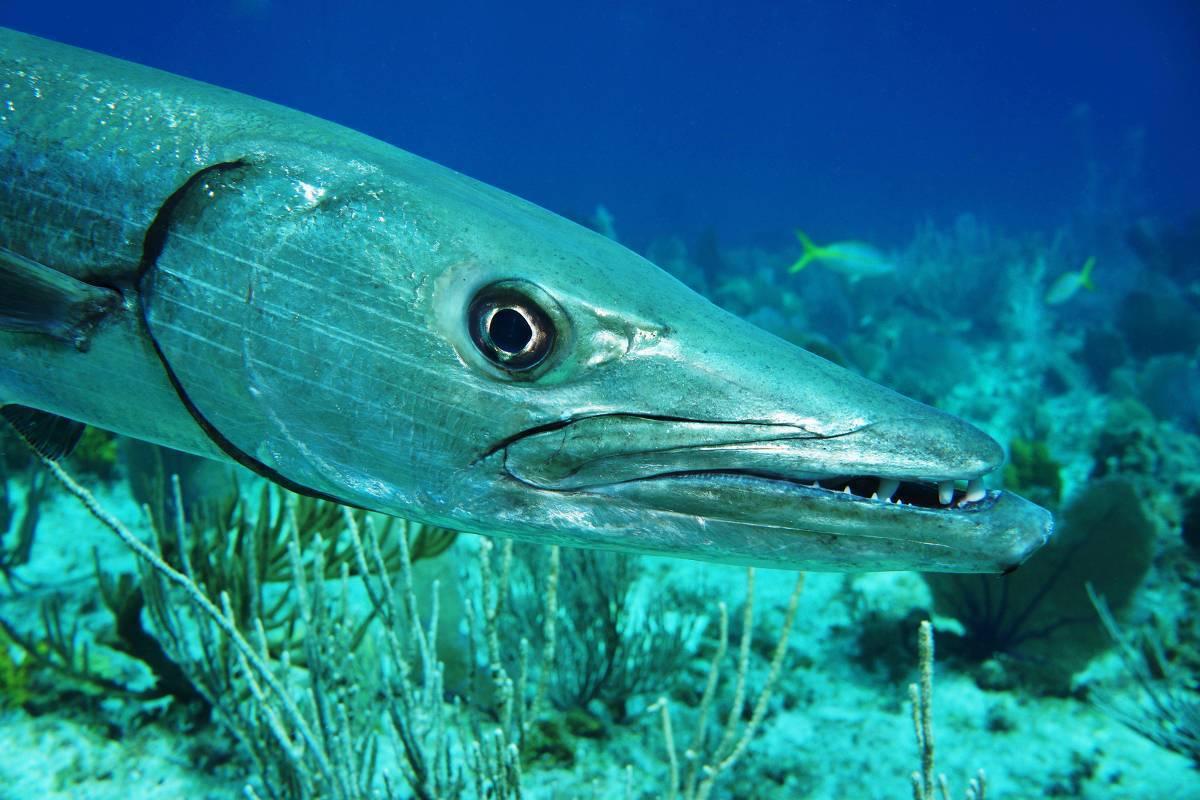 Барракуда рыба. Образ жизни и среда обитания рыбы барракуды