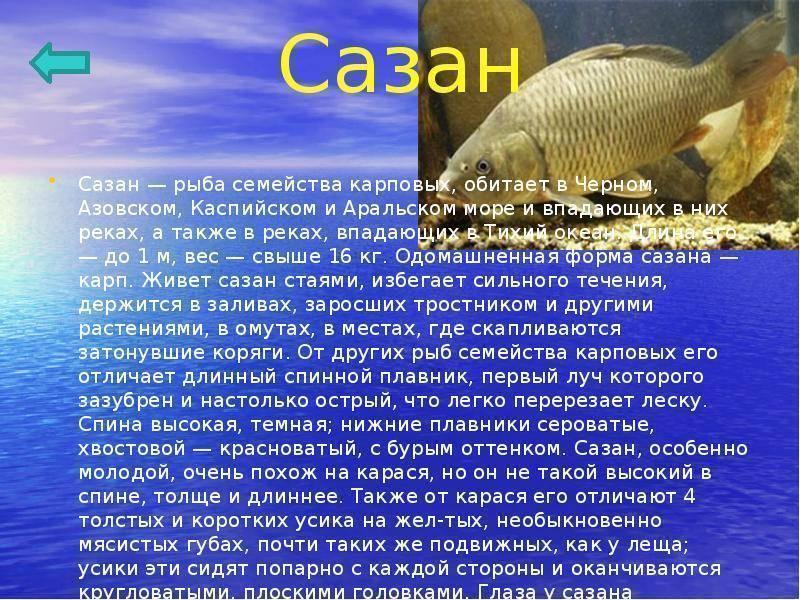 Сазан - описание, виды, фото, снасти и способы ловли сазана, нерест