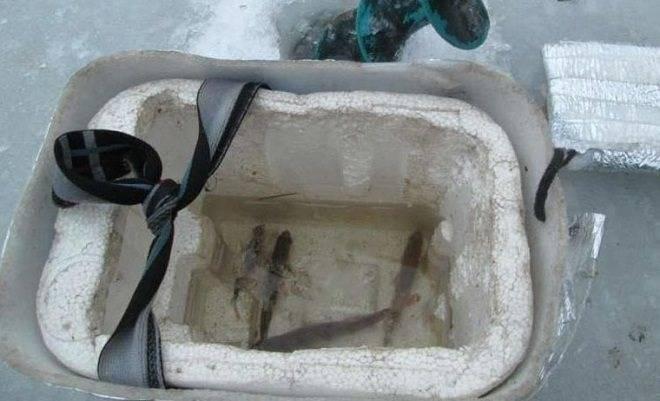 Живец для щуки: какого выбрать? - спортивное рыболовство
