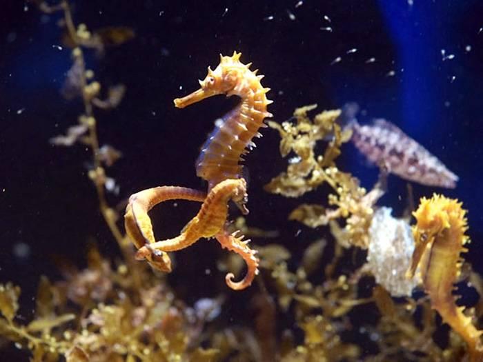 Морской конек – невероятное создание. описание и фото морского конька