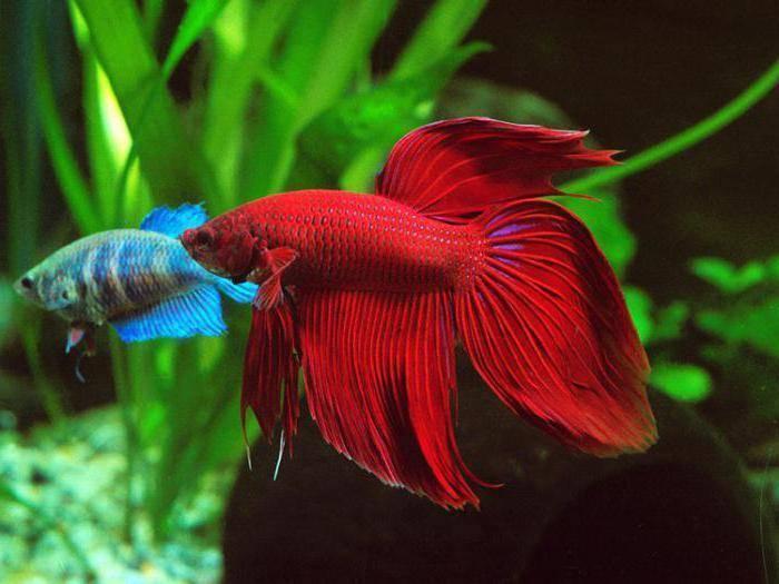 Рыбка вуалехвост: содержание и уход, как выглядит, виды (ситцевый), сколько живут, фото, размножение, совместимость