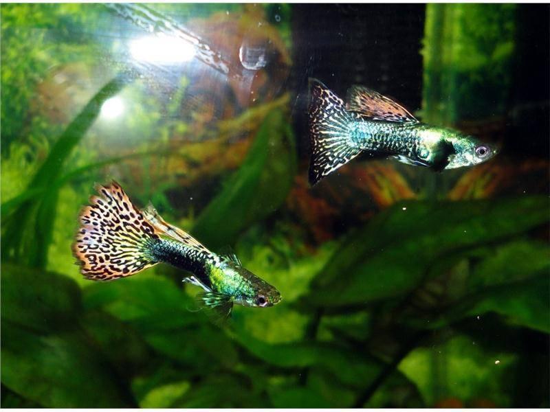 Размножение гуппи в аквариуме, содержание и уход
