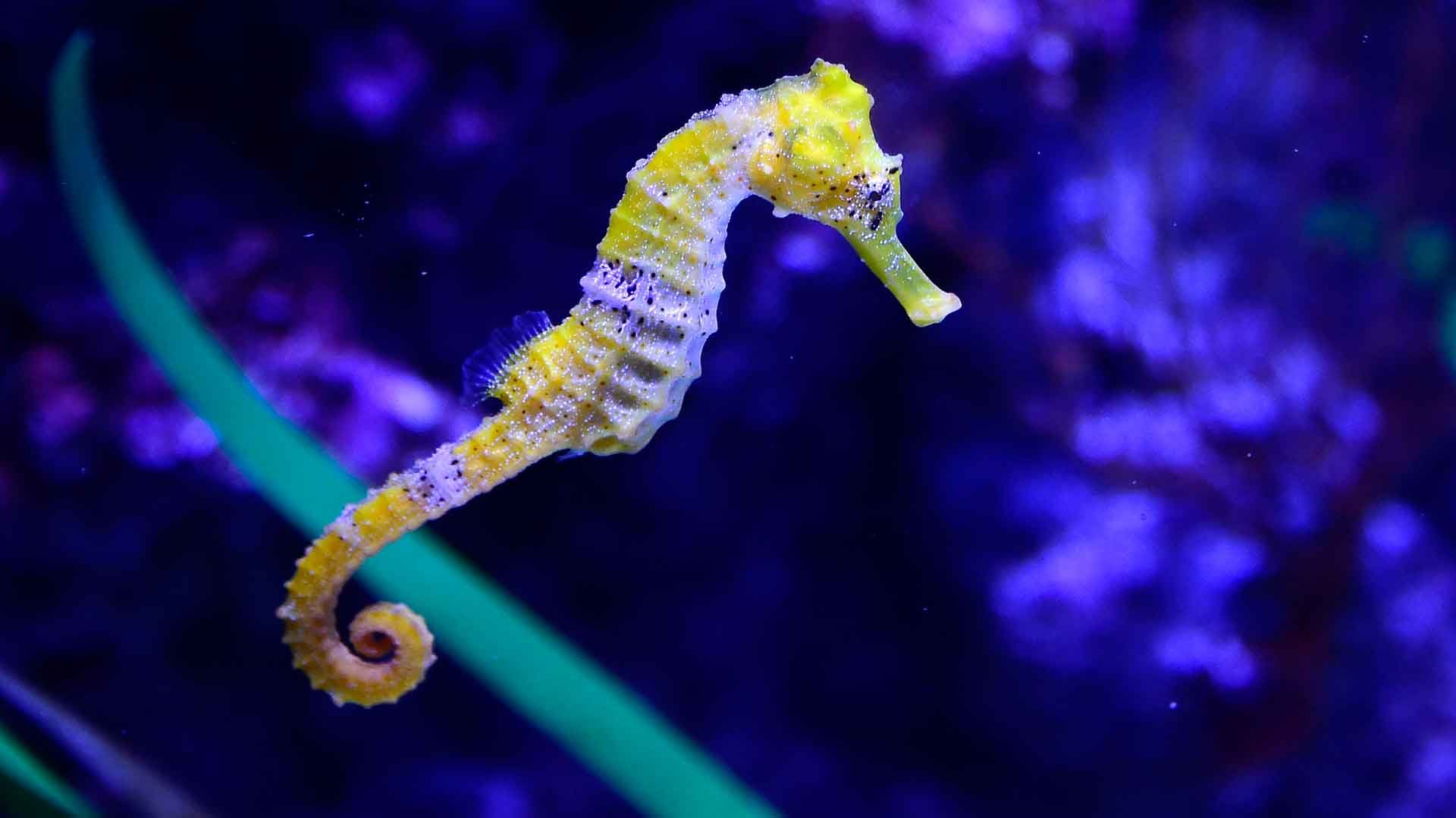 Черноморский морской конёк