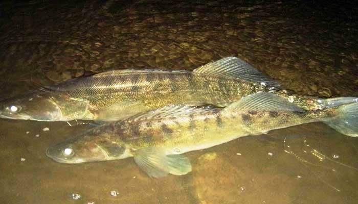 Рыба судак: где водится и как выглядит, отличительные черты морского и речного хищника