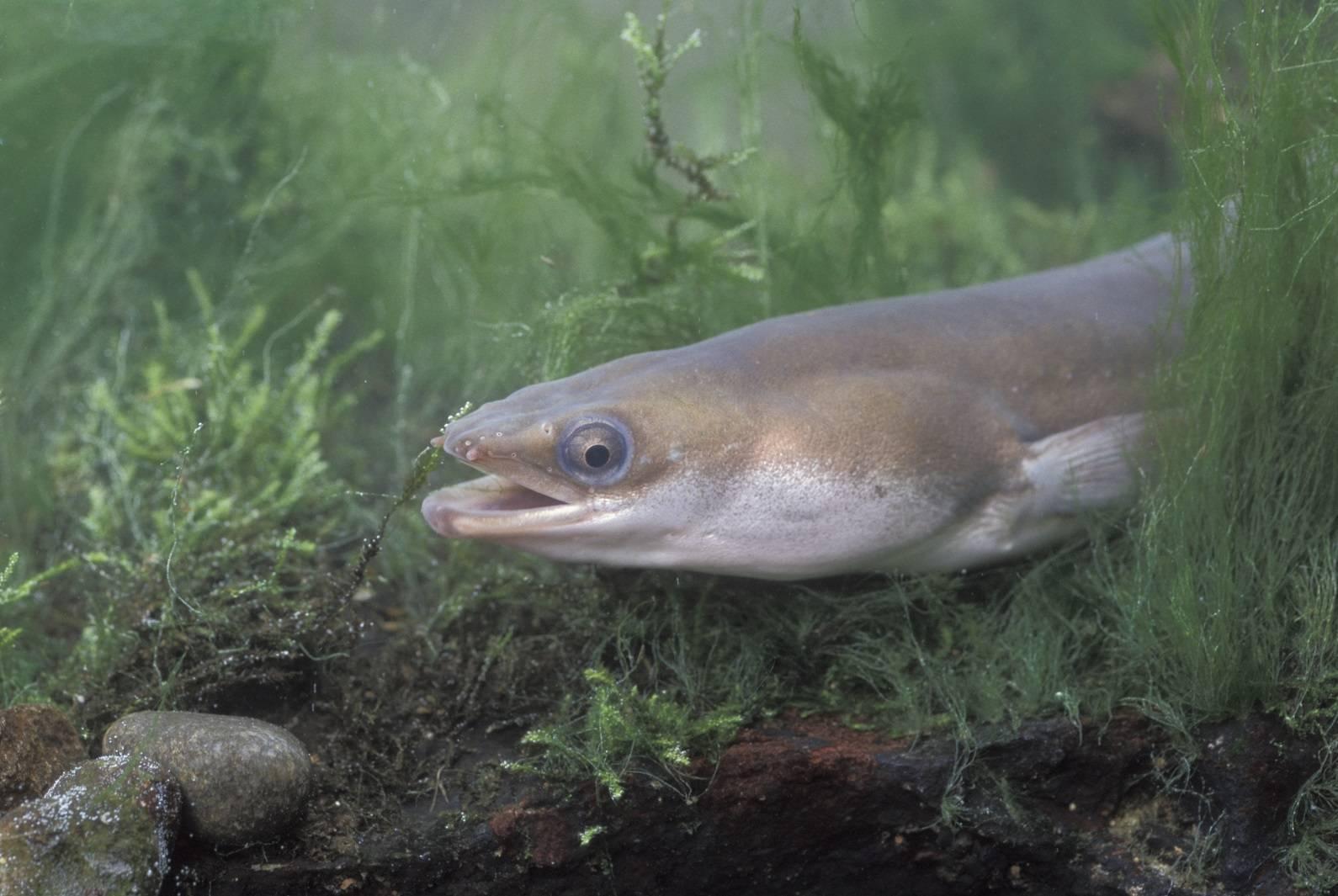 Рыба угорь: речной и морской вид, их особенности