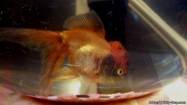ᐉ золотая рыбка плавает на поверхности воды — пузом вверх - zoo-mamontenok.ru