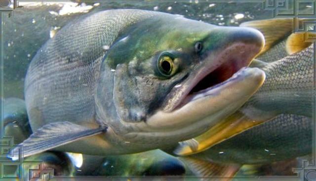 Рыба кета: фото, описание и фото, полезные свойства, особенности ловли