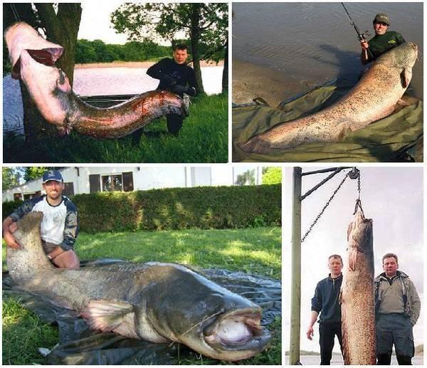 Щуки-рекордсмены. самая большая щука в мире!