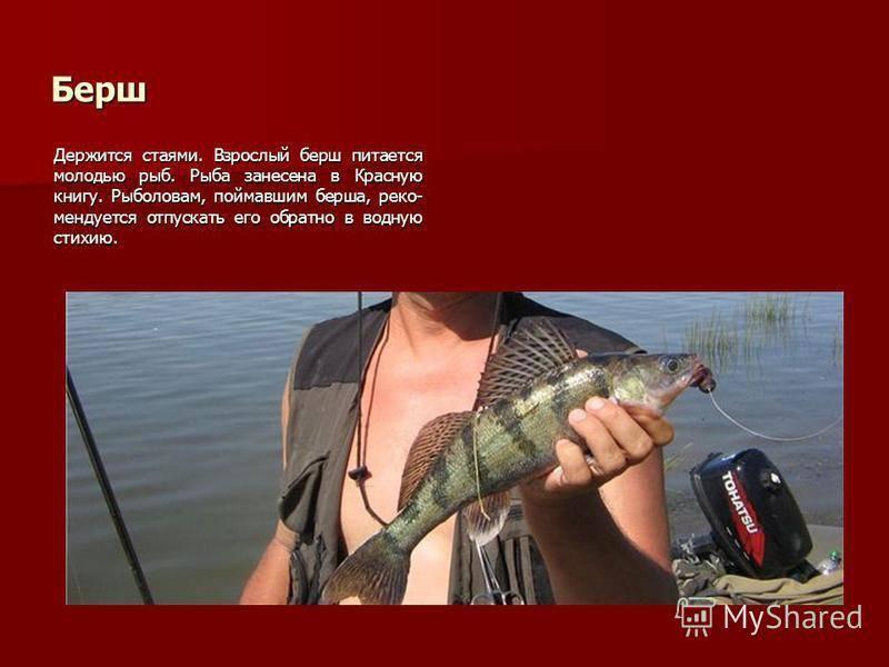 Берш: рыба берш фото и описание, нерест, способы ловли, образ жизни, приманки, прикормки