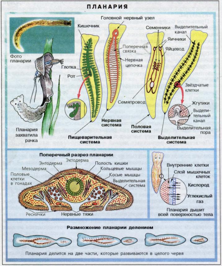 Белая планария: что за паразит, внешнее и внутреннее строение, жизненный цикл. сравнительная характеристика пресноводной гидры и белой планарии: особенности организации
