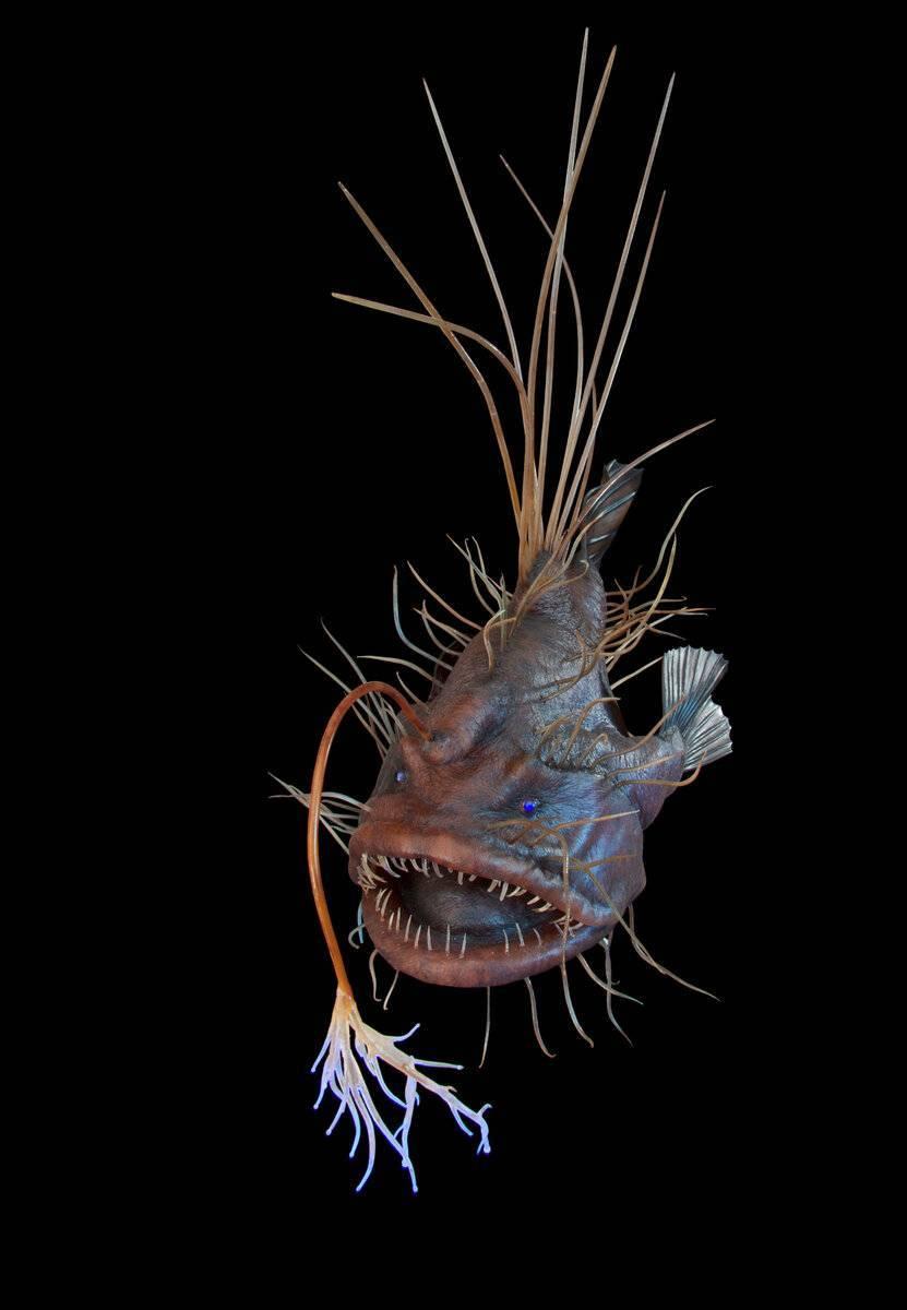 Морской черт (удильщик) – фото, описание, виды, где обитает