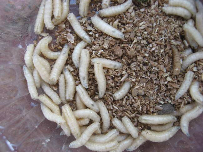 Чем питаются опарыши в домашних условиях, как хранить дома червя