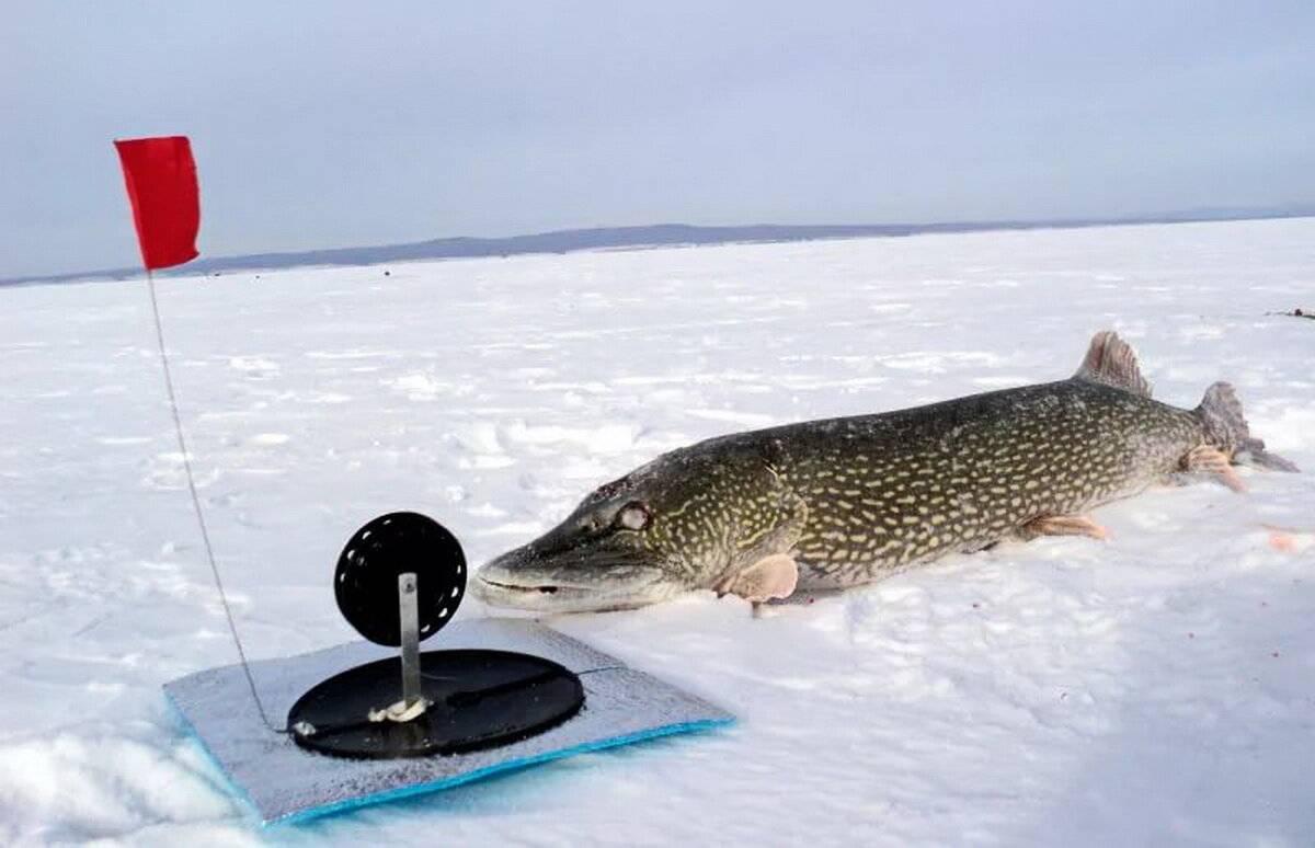 Рыбалка на жерлицы: как поймать большую щуку зимой