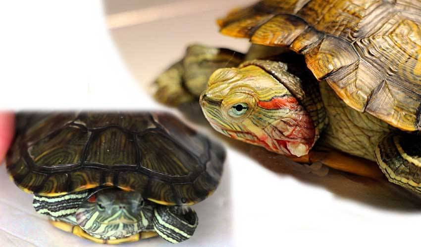 11 болезней красноухих черепах: причины, симптомы, методы лечения