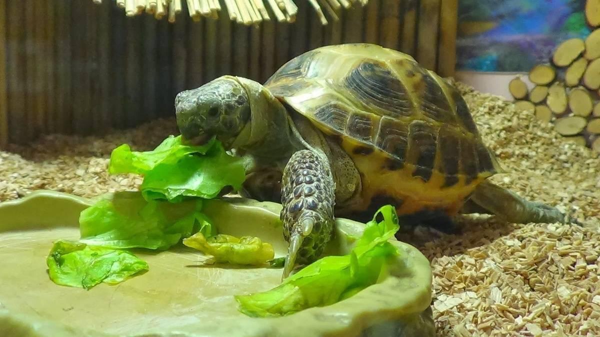 Чем можно кормить сухопутных черепах в домашних условиях. перечень запрещенных продуктов - твой питомец