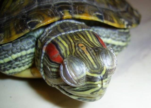Грибок у черепах   здоровье и здоровый образ жизни