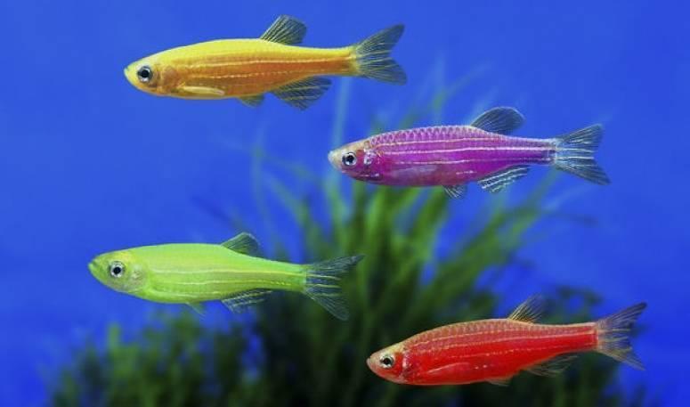 Аквариумные рыбки неоны: содержание и уход, чем кормить и виды - ribulki.ru