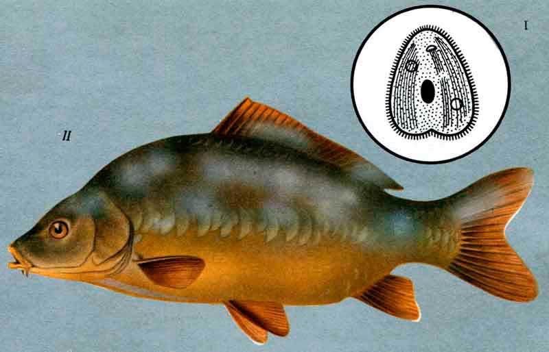 Болезни аквариумных рыбок: симптомы, лечение.