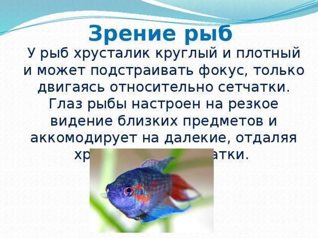 Глаза как у рыбы. органы зрения. зрение рыб. органы чувств: зрение рыб