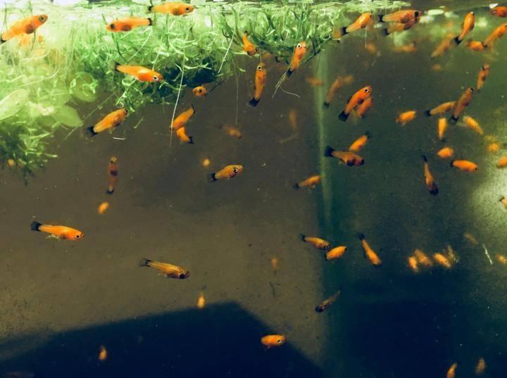 Меченосцы рыбки - уход и содержание, размножение и в чем отличие самки от самца - ribulki.ru