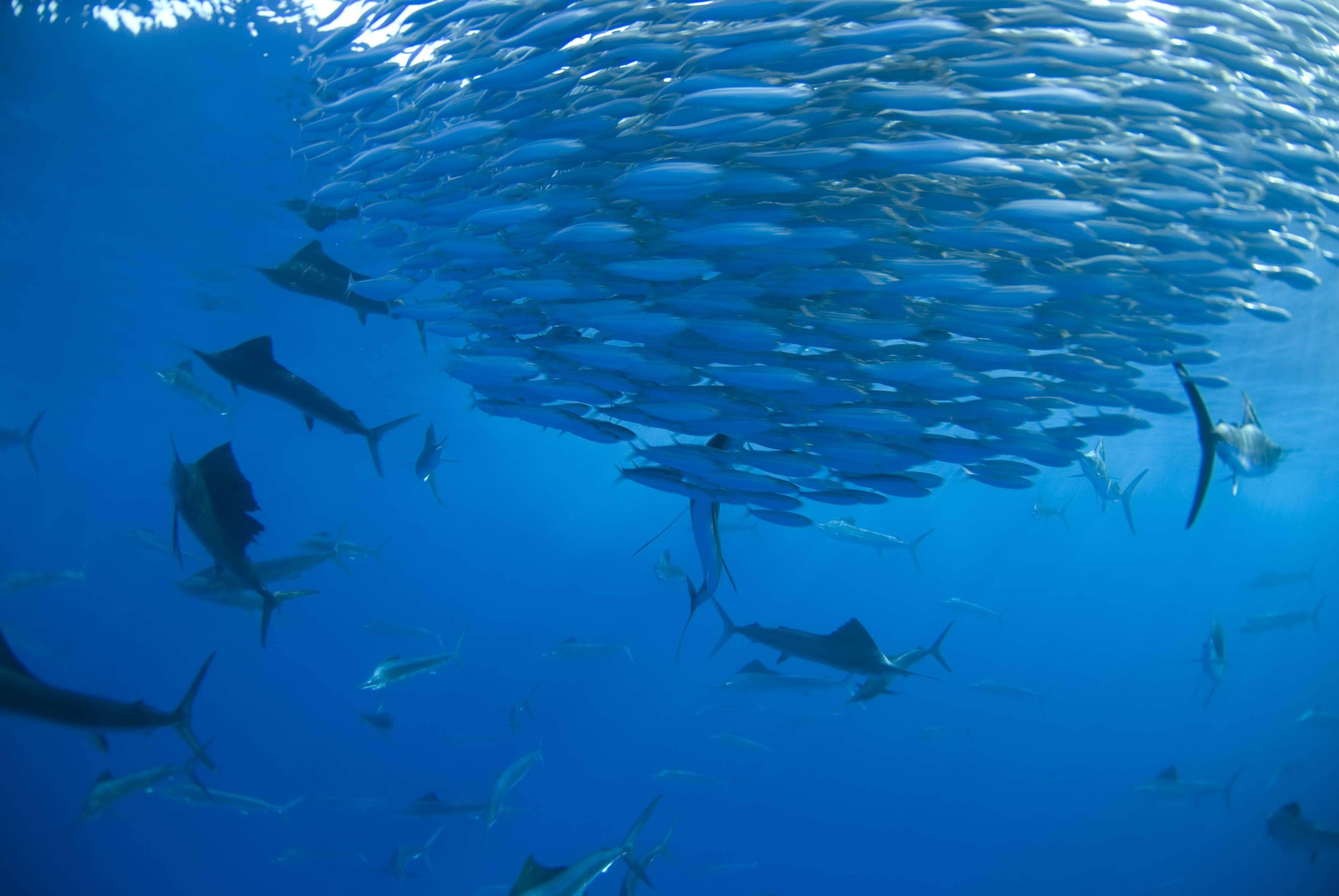 Марлин голубой | мир животных и растений