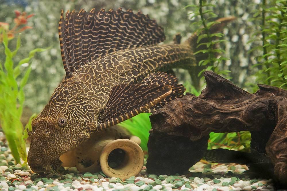 Обитание, описание и образ жизни аквариумного сома