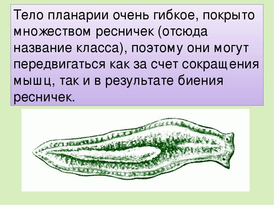 Белая планария (planariidae): строение, симптомы, образ жизни