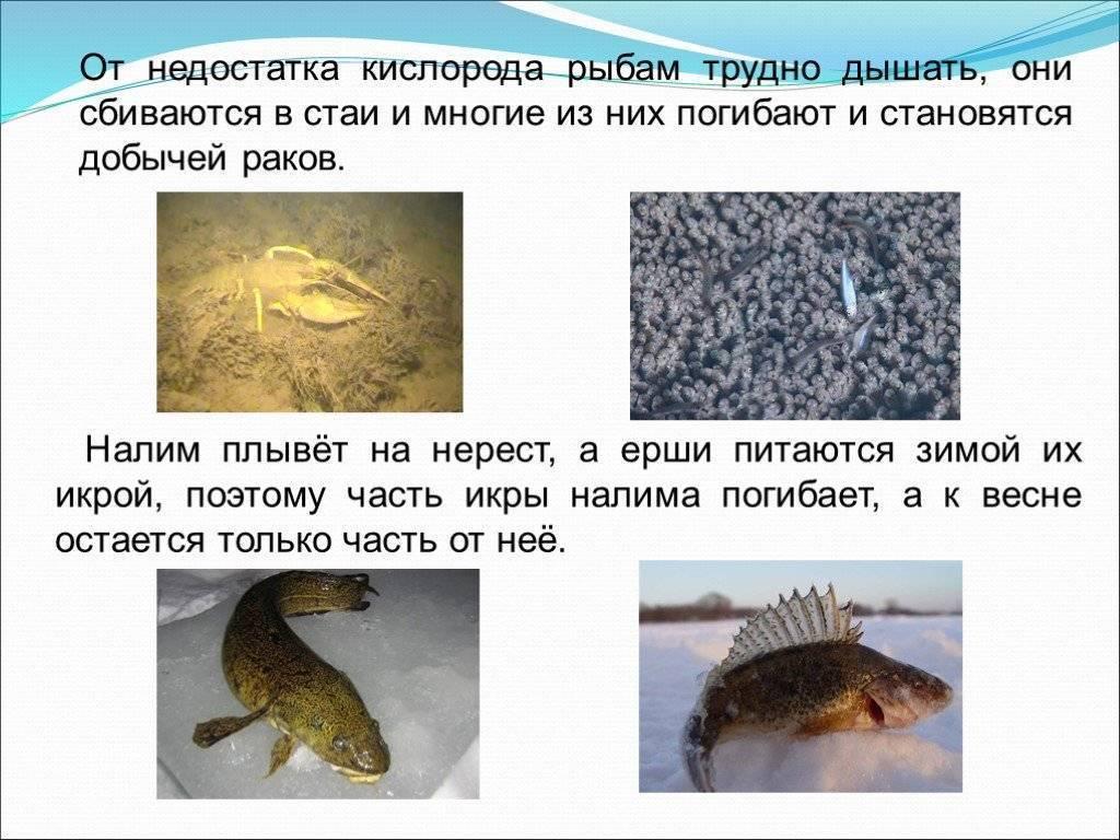 Налим рыба: описание вида с фото, применение, калорийность