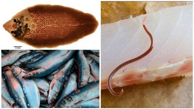Описторхоз и дифиллоботриоз. это нужно знать каждому рыбаку!