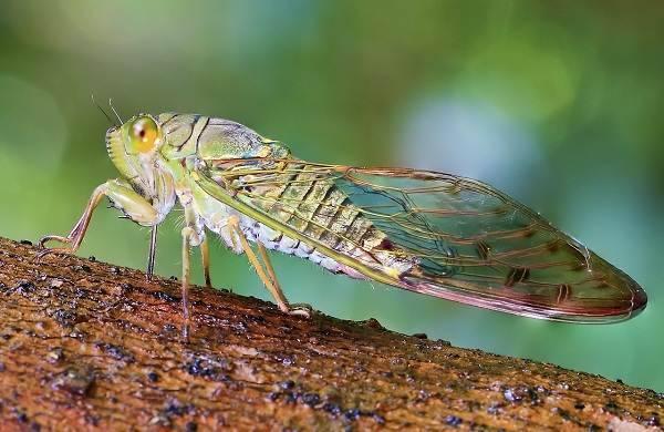 Цикада (фото): искусно поющее насекомое